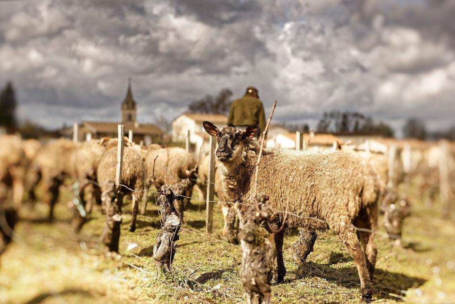 Ces moutons se régalent de l'herbe qui pousse entre les rangs