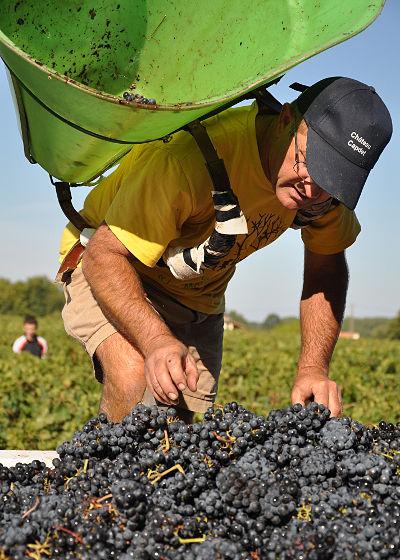 Vendanges à la main dans les vignes du Médoc.